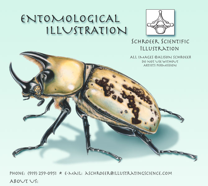 Center-Eastern-Hercules-Beetle-Illustration