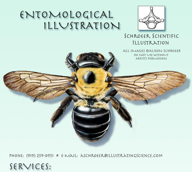 Central-Carpenter-Bee-Illustration