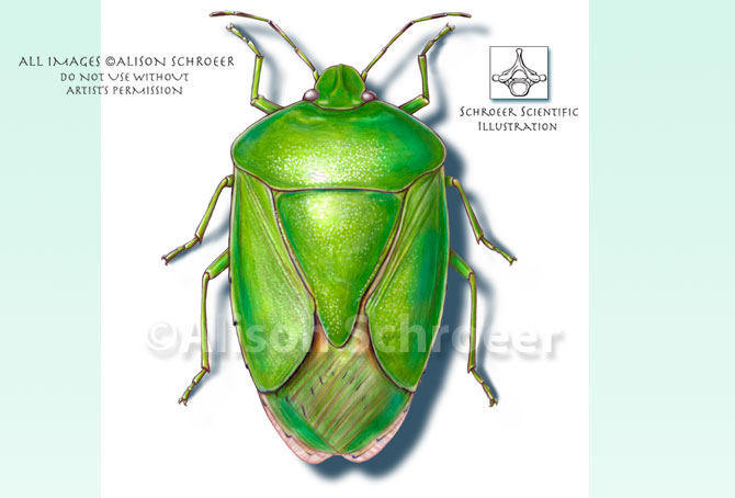 Portfolio 13 Green stink bug illustration Nezara viridula Linnaeus