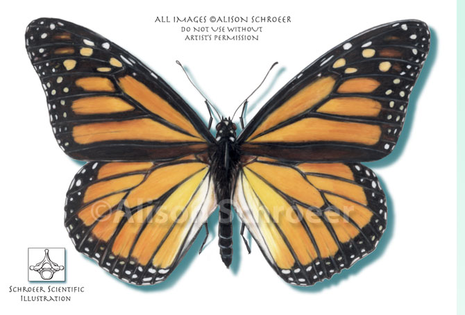 Portfolio 14 Monarch butterfly illustration Danaus plexippus