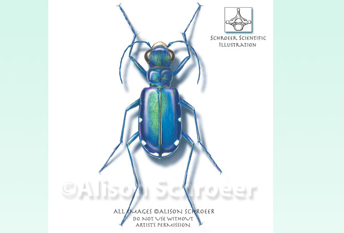 Portfolio 25 Six-spotted tiger beetle illustration Cicindela sexguttata