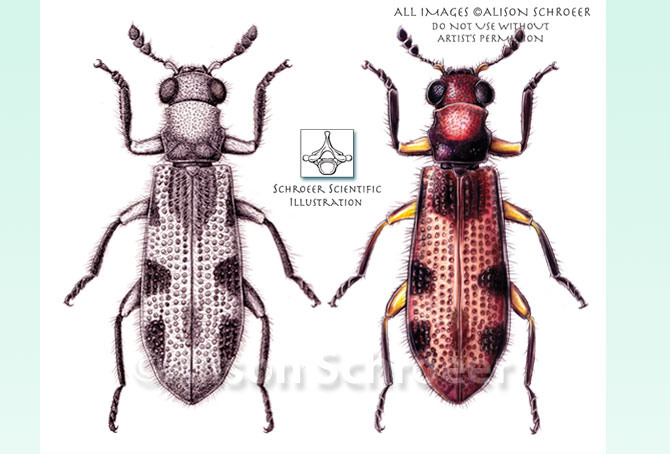 Portfolio 49 Checkered beetle illustration Madoniella texis Opitz