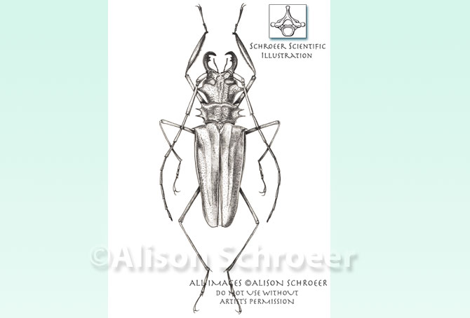 Portfolio 50 Stippled Asian beetle illustration