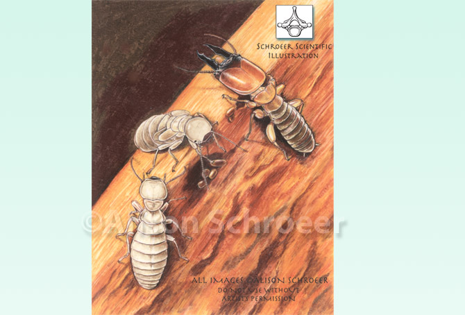 Portfolio 58 Damp wood termite illustration Zootermopsis nevadiensis