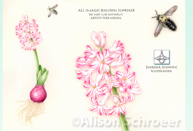 Portfolio 61 Carpenter bee and hyacinth illustration Xylocopa virginica L.